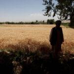 UN agency seeks $36 million to save rural Afghan livelihoods